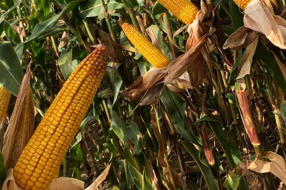 Sonderangebot – Mais mit Herbizid-Reduktion & Wachstum